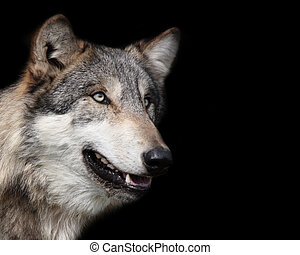 Grey wolf, canis lupus, portrait isolated on black background