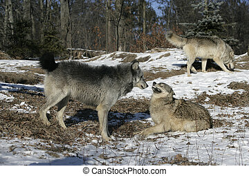 Grey wolf, Canis lupus, group of wolves on snow, captive