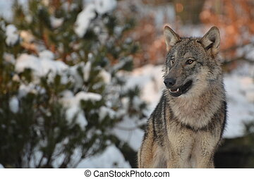 Close up of an european grey wolf (canis lupus lupus) in winter.