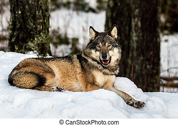 Grey wolf, Canis lupus, lying down resting, looking peaceful, in a snowy winter forest in the zoo, Kristiansand, Norway