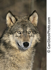 Grey wolf, Canis lupus, single mammal head shot, captive