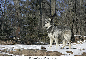 Grey wolf, Canis lupus, single mammal on snow, captive