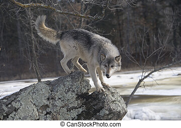 Grey wolf, Canis lupus, single mammal on snow,