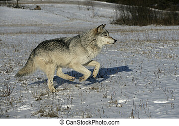Grey wolf, Canis lupus, single mammal running on snow, ...