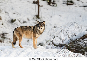 Grey wolf, Canis lupus, standing and looking towards cameraa...