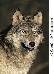 Grey wolf, Canis lupus - Grey wolf, Canis lupus, single...