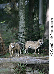 Grey wolf, Canis lupus, two mammals in wood, captive