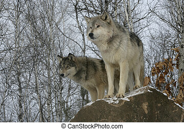 Grey wolf, Canis lupus, two wolves, captive