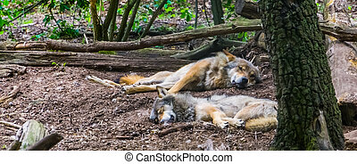 grey wolf couple laying on the ground together in the forest, Wild animal specie from the forests of Eurasia