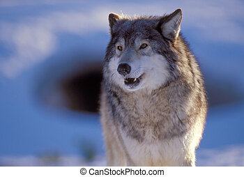 Grey Wolf - Grey or timber wolf with snow in the background....