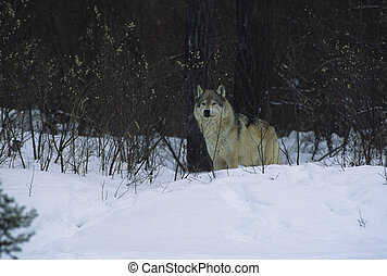 Grey Wolf in Snow - a grey wolf stands on the edge of timber...