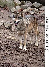 Grey wolf in wildlife reservation