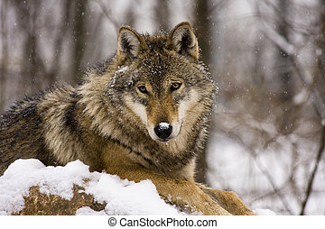 Grey wolf in winter - Grey wolf (Canis lupus) in winter