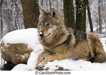 Grey wolf in winter