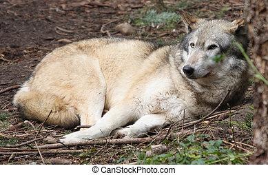 Grey Wolf. Photo taken at Northwest Trek Wildlife Park, WA.