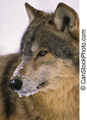 Grey Wolf Portrait - a close up portrait of a snowy faced ...