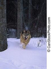 Grey Wolf Running - a gray wolf running through snow