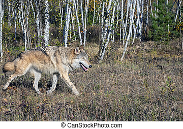 Grey Wolf running alongside a Birch Forest in Autumn