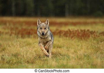 Grey wolf running on colorful meadow - Canis lupus