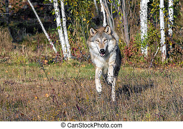 Grey Wolf running out of a Birch Forest in Autumn