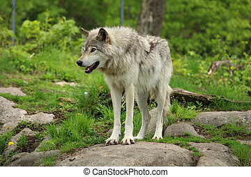 Grey wolf standing on a rock in a forest environment