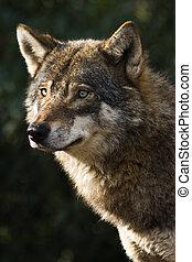 Grey wolf - Alert grey wolf standing and staring in the sun...
