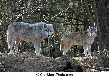 Grey Wolves - A pair of grey wolves.