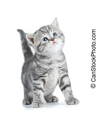 Grey young cat with blue eyes looking up