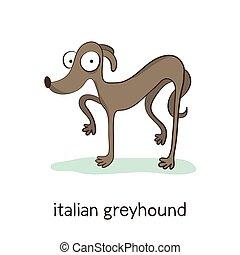 greyhound., אופי, הפרד, כלב, לבן, איטלקי