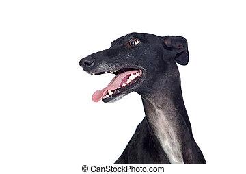 Greyhound breed dog isolated on white background