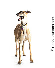 greyhound, reboque