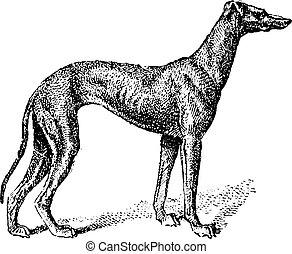 Greyhound, vintage engraving - Greyhound, showing male dog,...