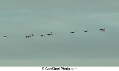 greylag geese flying in line
