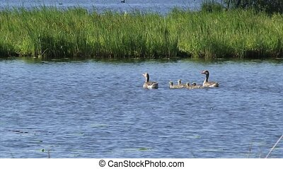 greylag goose family (anser anser) offspring swim
