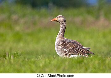 Greylag goose feeding on grass