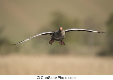 Greylag goose flying forwards, close up