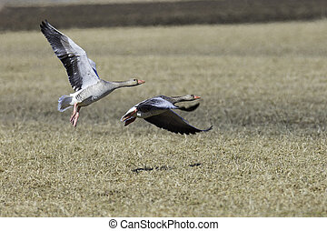 Greylag Goose Flying over Cultivated Field