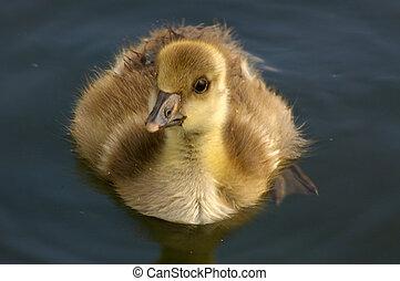 Greylag Goose Juvenile 01 - A young juvenile, chick/gosling,...