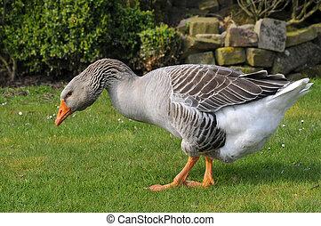Greylag goose walking on grass