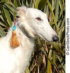 barzoï - greyoung purebred barzoï white: bautiful elegant...