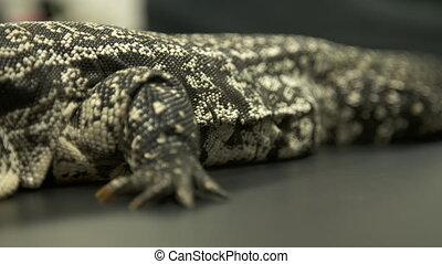 griffes, lizard's, blanc, estomac, moniteur