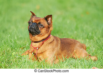 griffon Brussels petit brabancon dog lying on green grass at...