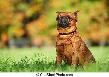 griffon Brussels petit brabancon dog lying on green grass at...