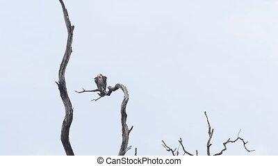 griffon, der, schwarz, pleitegeier, nationalpark, indien