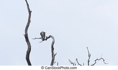 Griffon on dry tree, black vulture, National Park, India