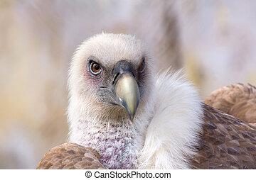 Griffon Vulture - Close up of a Griffon vulture head