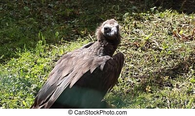 Griffon vulture eat prey - Griffon vulture eat prey