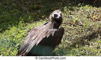 Griffon vulture eat prey - Griffon vulture eat prey