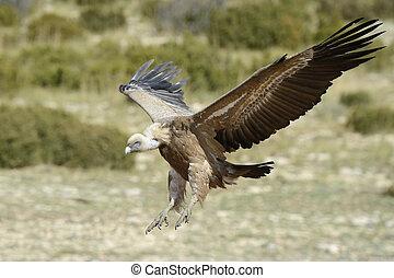 Griffon vulture flying.