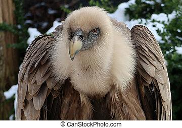 griffon, vulture